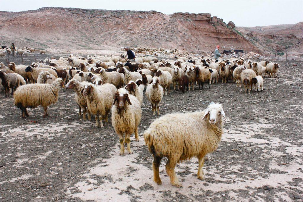 Carol Sheep